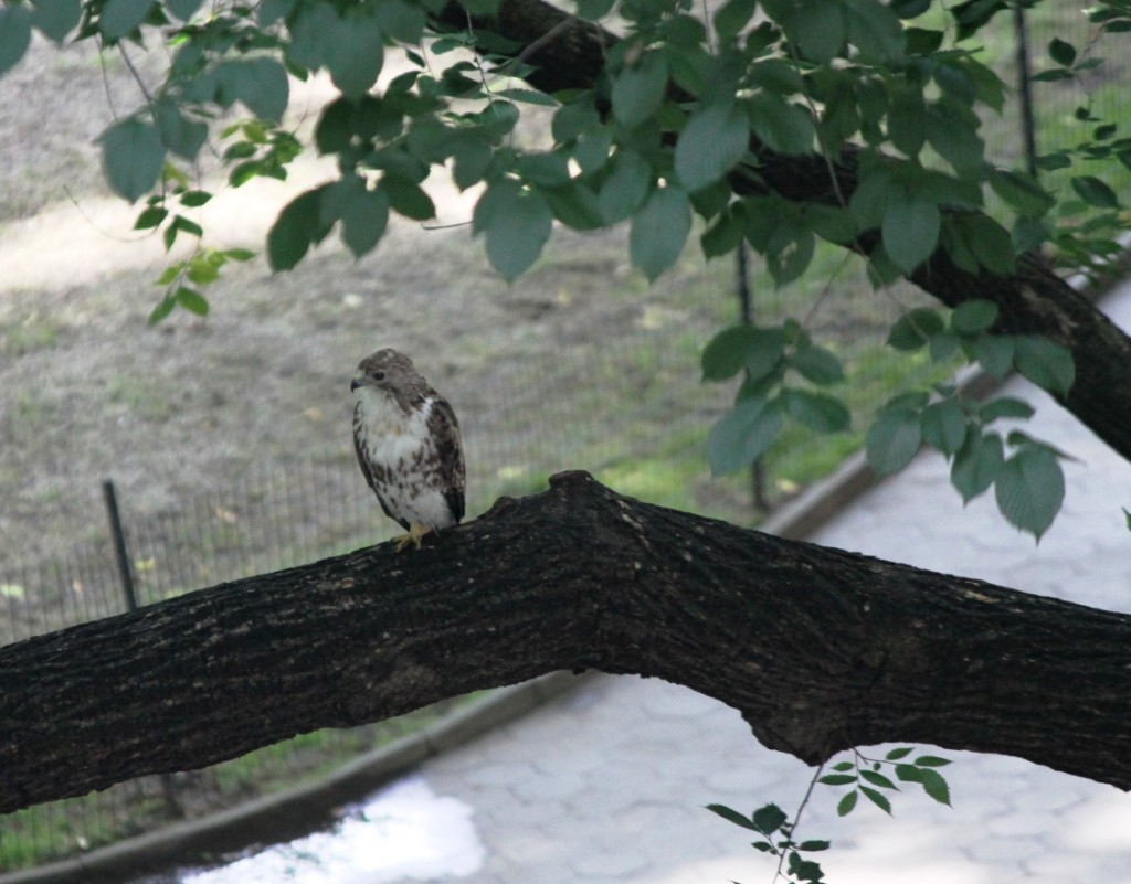 hawk in mad sq park jun 2013
